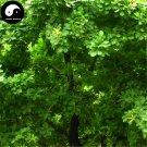 Buy Oak Tree Seeds 15pcs Plant Chinese Quercus Acuta Tree For Quercus Xiang Shu