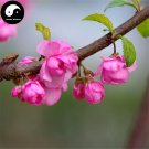 Buy Amygdalus Triloba Tree Seeds 60pcs Plant Triloba For Pink Flower Yu Ye Mei