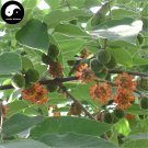 Buy Paper Mulberry Tree Seeds 120pcs Plant Broussonetia Papyrifera For Gou Shu
