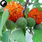 Buy Paper Mulberry Tree Seeds 60pcs Plant Broussonetia Papyrifera For Gou Shu