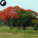 Buy Delonix Regia Tree Seeds 80pcs Plant Peacacock Flower For Phoenix Wood