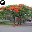 Buy Delonix Regia Tree Seeds 40pcs Plant Peacacock Flower For Phoenix Wood
