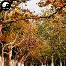 Buy Platanus Tree Seeds 200pcs Plant Platanus Orientalis Tree For Xuan Ling Mu