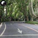 Buy Platanus Tree Seeds 50pcs Plant Platanus Orientalis Tree For Xuan Ling Mu