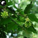 Buy Camptotheca Tree Seeds 100pcs Plant Camptotheca Acuminata Tree For Xi Shu