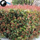 Buy Photinia Serrulata Tree Seeds 200pcs Plant Red Robin For Heather Shi Nan
