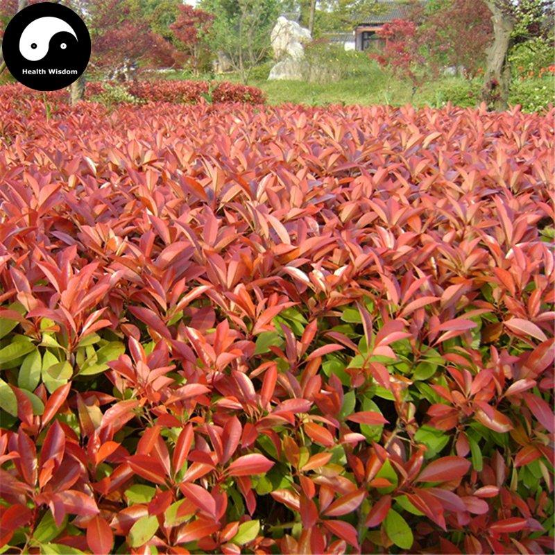Buy photinia serrulata tree seeds 100pcs plant red robin - Photinia serrulata red robin ...
