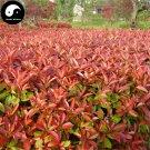 Buy Photinia Serrulata Tree Seeds 100pcs Plant Red Robin For Heather Shi Nan