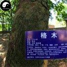 Buy Erythrophleum Fordii Tree Seeds 60pcs Plant Hard Wood Tali For Chinese Ge Mu