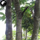 Buy Erythrophleum Fordii Tree Seeds 15pcs Plant Hard Wood Tali For Chinese Ge Mu