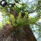 Buy White Elm Tree Seeds 100pcs Plant Ulmus Pumila For Chinese Elm Yu Shu