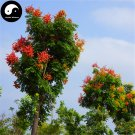 Buy Golden Rain Tree Seeds 60pcs Plant Koelreuteria Chinensis Chinese Luan Shu