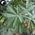 Buy Aesculus Tree Seeds 20pcs Plant Aesculus Chinensis For Seven Leaves Tree