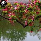 Buy Silk Begonia Tree Seeds 60pcs Plant Begonia Evansiana For Chinese Hai Tang