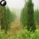 Buy Sabina Chinensis Tree Seeds 100pcs Plant Pyramidalis Cypress For Sabina Tree
