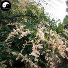 Buy Purpus Priver Tree Seeds 200pcs Plant Ligustrum Quihoui For Chinese Privet