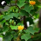Buy Chinese Tulip Tree Seeds 100pcs Plant Liriodendron Chinensis Tree For Ma Gua Shu