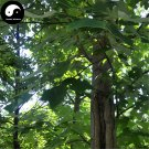 Buy Chinese Tulip Tree Seeds 200pcs Plant Liriodendron Chinensis Tree For Ma Gua Shu