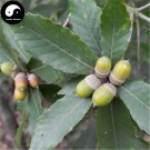 Buy Chinese Glauca Tree Seeds 40pcs Plant Cyclobalanopsis Glauca Tree For Nut