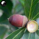 Buy Chinese Glauca Tree Seeds 20pcs Plant Cyclobalanopsis Glauca Tree For Nut