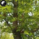 Buy Chinese Aurea Acer Negundo Tree Seeds 60pcs Plant Compound Leaf Maple Tree