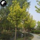 Buy Chinese Aurea Acer Negundo Tree Seeds 120pcs Plant Compound Leaf Maple Tree
