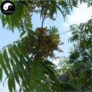 Buy Chinese Lacquer Tree Seeds 100pcs Plant Toxicodendron Vernicifluum Tree Qi Shu