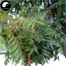 Buy Chinese Lacquer Tree Seeds 50pcs Plant Toxicodendron Vernicifluum Tree Qi Shu