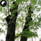 Buy Fraxinus Mandshurica Tree Seeds 200pcs Plant Fraxinus Mandshurica Tree For Wood