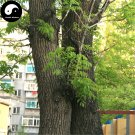 Buy Fraxinus Mandshurica Tree Seeds 100pcs Plant Fraxinus Mandshurica Tree For Wood