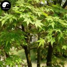 Buy Green Leaf Maple Tree Seeds 100pcs Plant Acer Palmatum Tree For Chinese Maple