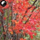 Buy Red Leaf Maple Tree Seeds 200pcs Plant Atropurpureum Tree For Chinese Maple