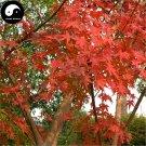 Buy Red Leaf Maple Tree Seeds 100pcs Plant Atropurpureum Tree For Chinese Maple