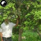 Buy Common Boxwood Tree Seeds 120pcs Plant Populus Simonii Tree For Buxus Sinica