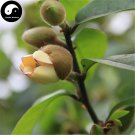 Buy Michelia Figo Tree Seeds 30pcs Plant Michelia Figo Chinese Han Xiao Flower