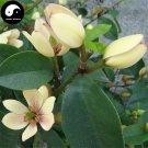 Buy Michelia Figo Tree Seeds 60pcs Plant Michelia Figo Chinese Han Xiao Flower