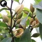 Buy Michelia Figo Tree Seeds 120pcs Plant Michelia Figo Chinese Han Xiao Flower