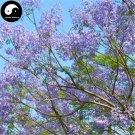 Buy Jacaranda Mimosifolia Tree Seeds 60pcs Plant Chinese Blue Flower Tree