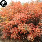 Buy Cotinus Tree Seeds 120pcs Plant Cotinus Coggygria For Chinese Huang Lu Tree