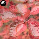 Buy Cotinus Tree Seeds 30pcs Plant Cotinus Coggygria For Chinese Huang Lu Tree