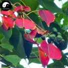 Buy Sapium Sebiferum Tree Seeds 30pcs Plant Stuppinu Tree For Chinese Wu Jiu