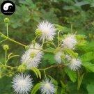 Buy Silver Acacia Tree Seeds 120pcs Plant Leucaena Tree For Chinese Yin He Huan