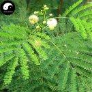 Buy Silver Acacia Tree Seeds 60pcs Plant Leucaena Tree For Chinese Yin He Huan