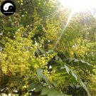 Buy Ailanthus Tree Seeds 60pcs Plant Ailanthus Tree For Chinese Chou Chun Shu