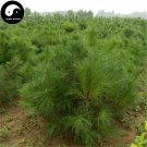 Buy Red Pine Tree Seeds 30pcs Plant Pinus Tabulaeformis Tree For Chinese Pine