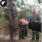 Buy Gleditsia Tree Seeds 240pcs Plant Gleditsia Sinensis Tree For Honeylocust