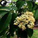 Buy Evodia Tree Seeds 400pcs Plant Evodia Daniellii Tree Chou Tan For Wu Zhu Yu