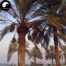 Buy Sea Jujube Tree Seeds 80pcs Plant Phoenix Dactylifera Tree For Nut Hai Zao