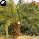 Buy Sea Jujube Tree Seeds 40pcs Plant Phoenix Dactylifera Tree For Nut Hai Zao