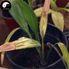 Buy Sea Jujube Tree Seeds 20pcs Plant Phoenix Dactylifera Tree For Nut Hai Zao